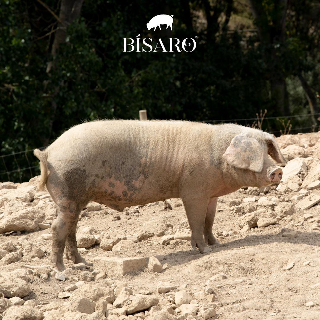 A liberdade do Porco Bísaro
